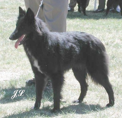 Lily shown in between coats, 22 months at 2002 Champ Show