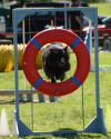 Bella going through the tyre - Festival of Agility September 2006
