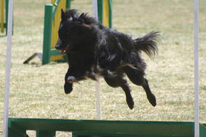 Picture taken by Tammy Watts, Paws in Action, www.pbase.com/dasweep/agility_trials