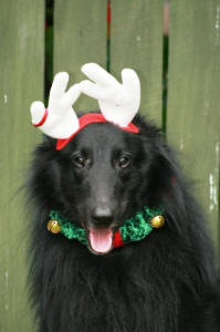 Koda & his cute Reindeer Ears ~ Christmas 2008