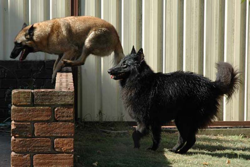 Black dogs can't jump!?  No, we have a brain!!!! 8^)